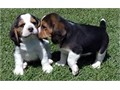 Ready to go now are our gorgeous 12 weeks old full pedigree beagle puppies we have boys and girls a