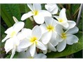 drought tolerant fragrant 15 gallon 6 feet tall multi branch Samoa Fluff Plumeria the type they make
