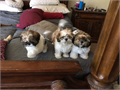 We have 3 Pure Breed Shih Tzus 2 boys and 1 girl available all shots are up to date and records co