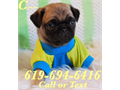 Pug Puppies for sale Have you been looking for a beautiful and healthy Purebred Pug puppy then lo