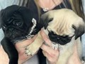 Charming male and female pug puppies for adoption They are fully registered 4 generation pedigree