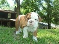 Awesome English Bulldog puppies for adoptionQuickly text at 972 X 449 X 1062 for more informat