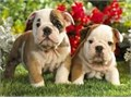 Nice litter English Bulldog puppies Boys and Girls available The Mother and father available They
