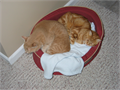 One male and one female adult cats Would like to keep them together as they are siblings Male is f