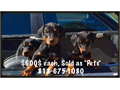 Top Quality Doberman Pinscher For Sale600 each NO PAPERS NO AKC NO DRAMA just some Good Lookin