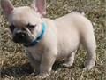 Adorable French Bulldog Pups for sale Kindly contact via text  213-471-7230  fo
