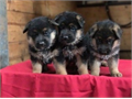 We have a Litter of AKC German Shepherd Puppies Our Puppies have been Vet checked Vaccinated and D