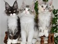 I am looking for a new home for my adorable Maine Coon kittens They have all their health documents