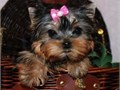 Gorgeous Tiny Yorkie Puppies For Sale Very Playful and friendly Home breed and