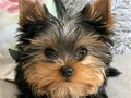 These beautiful puppies are looking for their forever homes These Yorkies are full of energy and lo