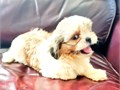 Cookie is a beautiful Shih-Tzu puppy She is 8 12 weeks old and ready for her new home now She is
