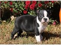 Boston Terrier Puppies very sweet and loving temperament They are great with kids Texts only at6