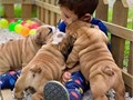 These bulldogs puppies are perfect companion and they Make a perfect addition to any familyThey hol