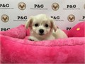 Nickname GraceDOB  AUG 27 2017Breed MalteseSex FemaleApprox Size at Maturity 6 - 8