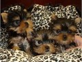 Yorkshire Terrier puppies available Our Yorkie puppies are raised by breeders who strive to raise h