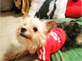 Male MorkieMaltese-Yorkie 1 years old All vaccines and deworming are up to da