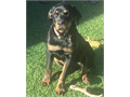 Very very sweet female Rottweiler 5 months old and looking for the perfect person to be her best fr
