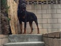 Rare old German Doberman working line available for stud use He is a direct import from the old re