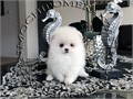 AKC Teacup White Female Pomeranian Gorgeous Teddy Bear face Huge thick coat nice tail and ears st