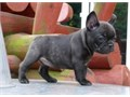 Right Breed for You The French Bulldog like many other companion dog breeds re
