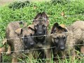 AKC German Shepherd Golden Sable pups  10 wks 1st2nd shotsdewormed  Beautiful Golden Sable colorin