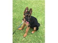 AKC Registered Beautiful German Shepherd Puppies for SALE  Born 52817 Black  Red 2 females ava