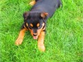 Beautiful Black and Brown Rottweiler puppies male and females in need of good homes11 weeks old