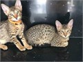 Very exotic litters of Serval Savannah F1 to F3 Ocelot and Caracal kittens ready for sale All