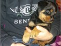 Rottweiler Puppies9 weeks old Female RottweilerUp to date on Vaccinations and dewormed - Health