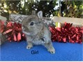 Adorable pure breed baby bunnies only 2 pounds full grown 5624488878