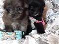 Super tiny beautiful pomeranian  poodles hypoallergenic intelligent shots  d worm puppy pack c