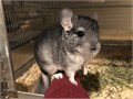 We are a small hobby breeder of show quality pedigreed chinchillas and have sev