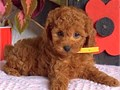 MINI GOLDEN DOODLE PUPPY FOR SALE PUPPY FOR SALE  9 WEEKS SHOTS AND DEWORMED GREAT PERSONALITY