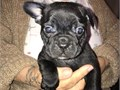 We have purebreed  French Bulldog Puppies All our puppies have been family raised with lots of love