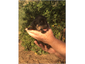 RottweilerQueenslandLab mix Nine puppies for Sale Good Working dogs and family dogs Two Female
