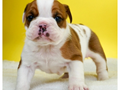 3 Beautiful Male English Bulldog Puppies 3 weeks oldThis litter is AkC registeredPuppies wi