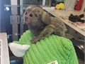 MARMOSET MONKEY SALESHello we are searching for a loving and caring home for our Marmoset monkey