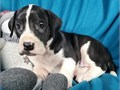 Great Dane puppies for pet lovers They are 12 weeks old vet checked TEXT ME 410-650-5370