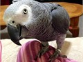 Hi am looking for a good home for my african greys parroti have 2 the boy and girl they are 7years
