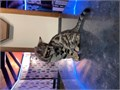 We have female Bengal kitten ready to leave nowMum is snow lynx and dad is glitter brownshe has be