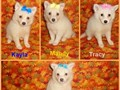 4 CKC registered female mini American Eskimo puppies They are ready to go All the shots and wormin