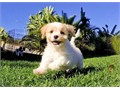 Harley is a Darling female Cavachon She loves showing everyone her Personality in San Diego This l