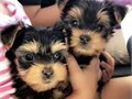 2 amazing teacup Yorkie puppies a male and a female They are registered with KC Our family adores