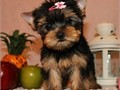 Females ONLY available 16 weeks really playful TEACUP website httpyorkiepups4salecomindexhtml