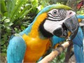 Beautiful Blue and Gold Macaws tame 16 months old Talk a little and come w a cage 36x48x77 Thes