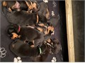 2133740961Hello guys we have beautiful healthy babies rottweiler puppies males