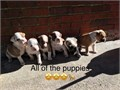 I have pitbull puppies for sale 1 male and 3 females left Males are 150 females are 200 They make