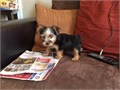 YORKIE male  female 9 weeks old first shots and deworming 68000 text 9093144655