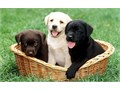 New litter of Labrador Puppies all 3 colors available White color Yellow color Chocolate color and