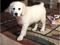 We are pleased to announce the safe arrival of our beautiful golden retriever puppies they are 8 we